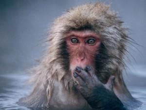 Japanese Macaque (Macata fuscata). Japan